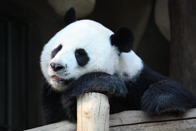 ležící panda